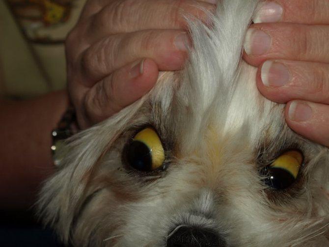 признаки желтухи у собак