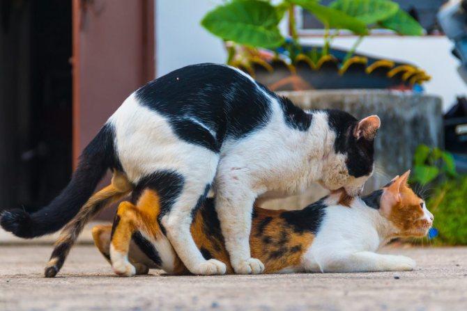 Процесс вязки котов и кошек