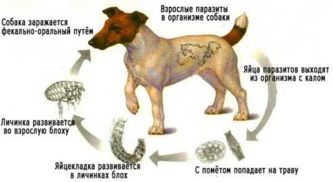 Процесс заражения собаки лямблиозом