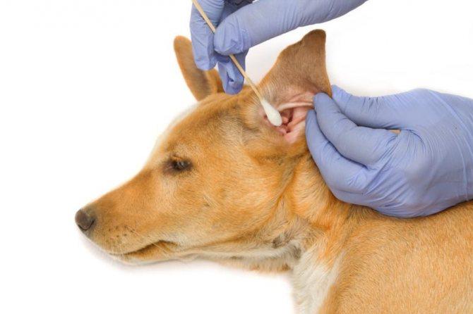 Профилактическая чистка ушей собаки должна быть раз в 2-3 недели