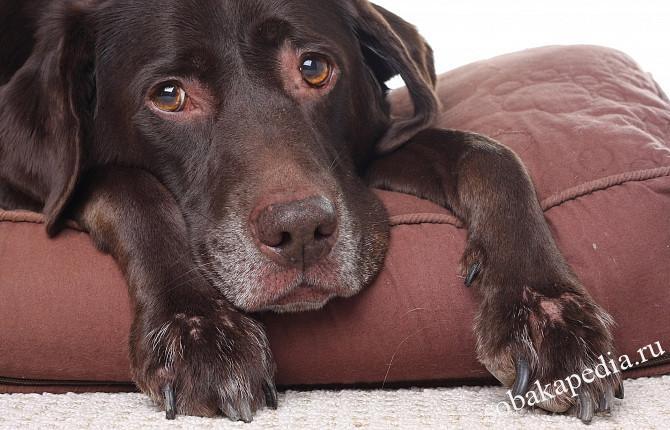 Профилактика пиодермии у собак