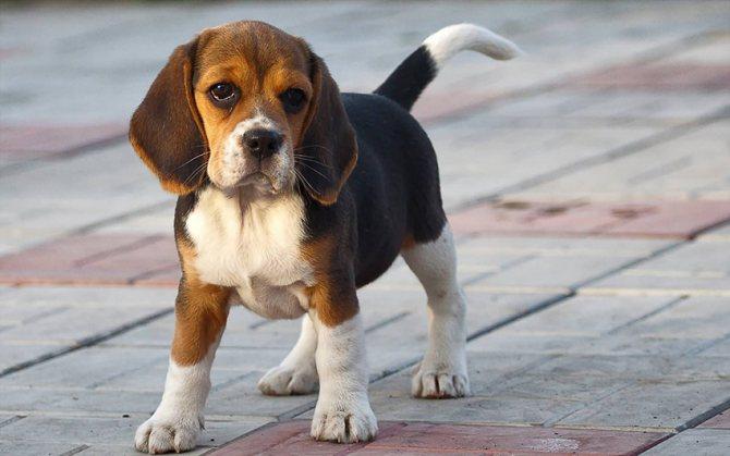 Прогулка с харьерами, сколько надо гулять с собаками