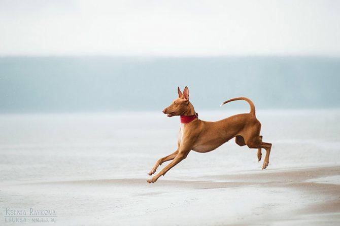 Прогулка, сколько надо гулять с фараоновой собаки