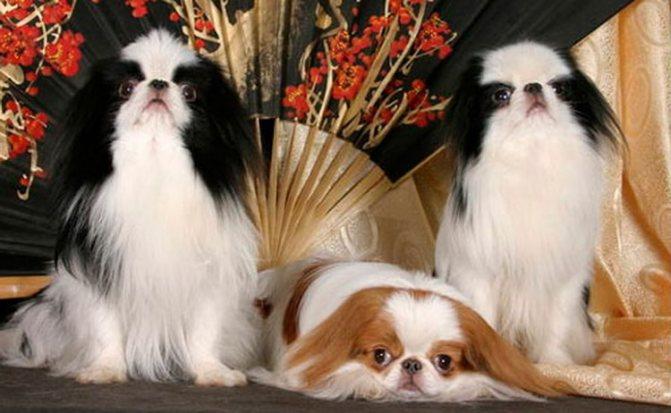 происхождение породы японский хин