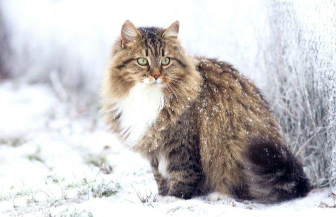 происхождения сибирской породы