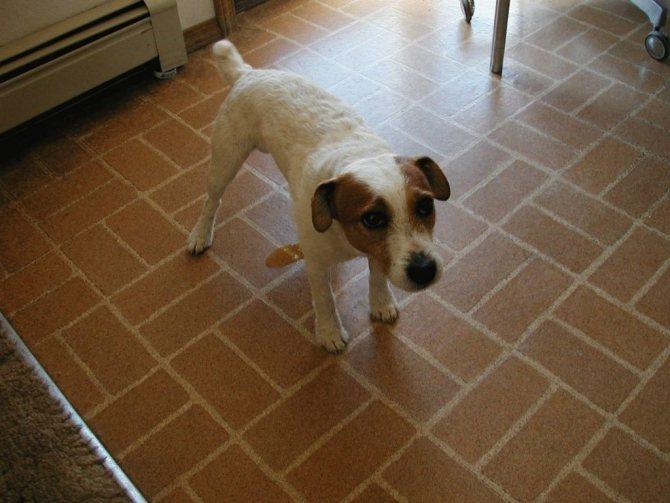 Пропалин для собак: инструкция по применению, дозировка и противопоказания, аналоги