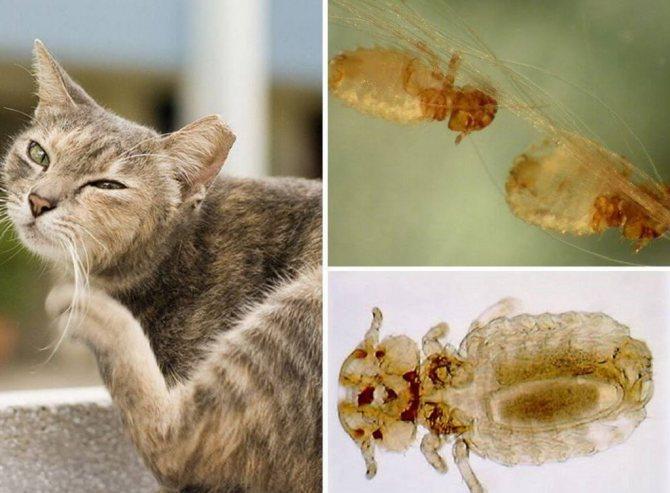 Простейшие у кошек признаки симптомы и лечение