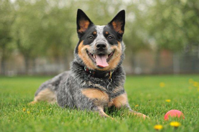 Просто собака