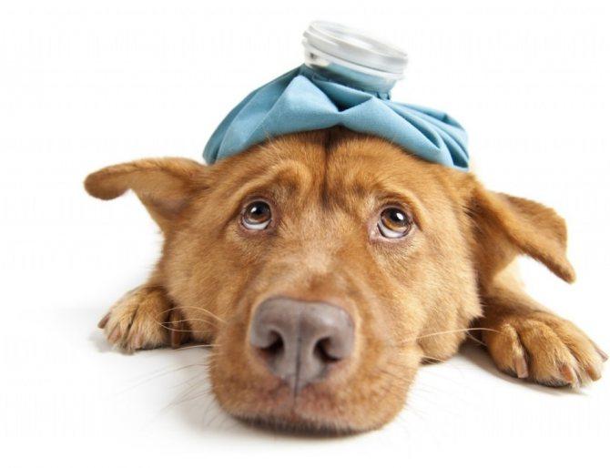 Простуда у собаки - жажда