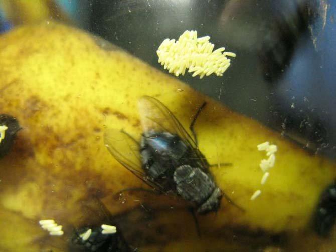 Просыпаясь, мухи начинают откладывать яйца в большом количестве