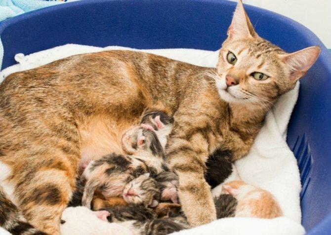Противопоказание к приему препарата в период лактации у кошки