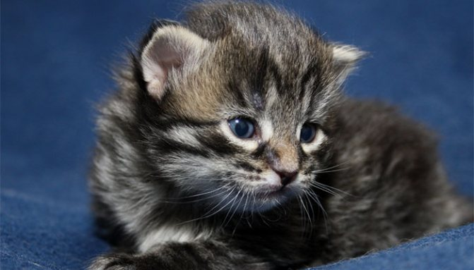Противопоказания лечению котят