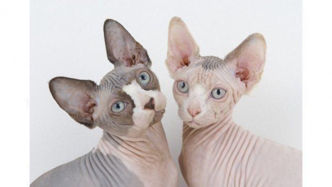 Проверьте готовность кошки вынашивать потомство у ветеринара