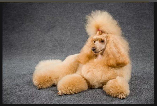 Пудель: гипоаллергенная собака
