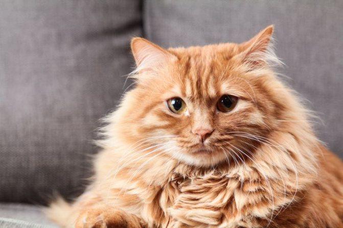 Пушистый кот с грустными глазами