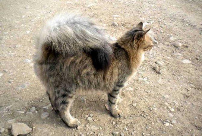 Пушистый кот с закрученным хвостом
