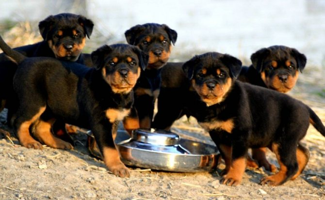 пять щенков ротвейлера