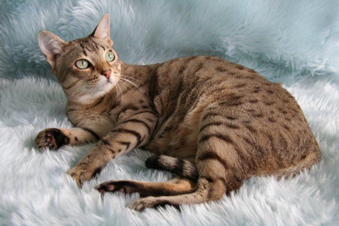 пятнистая кошка на сером ковре