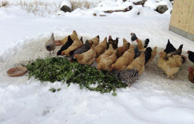 Рацион кур зимой