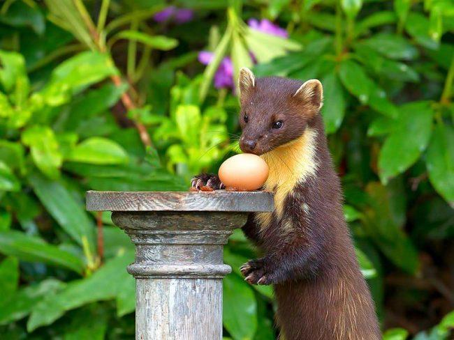 Рацион животного разнообразен и не ограничивается только мясными блюдами. Ни на секунду не теряя своих охотничьих навыков, куница с удовольствием поедает яйца птиц, личинок насекомых, лесные ягоды, рыбу, лягушек