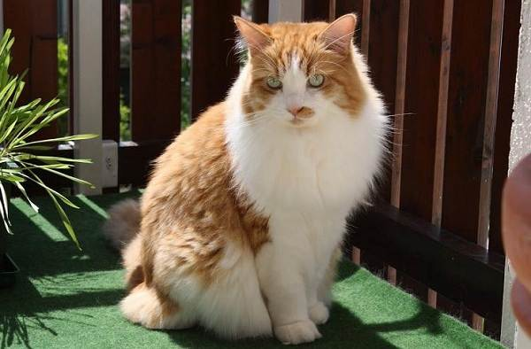 Рагамаффин-кошка-Описание-особенности-виды-характер-уход-и-цена-породы-рагамаффин-10