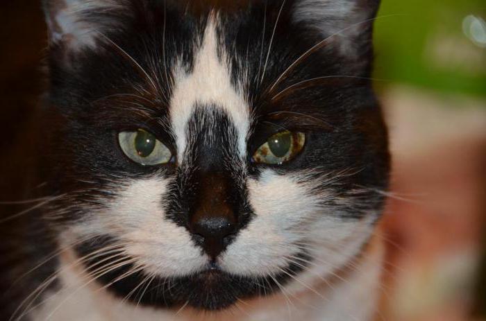 рак у кошки