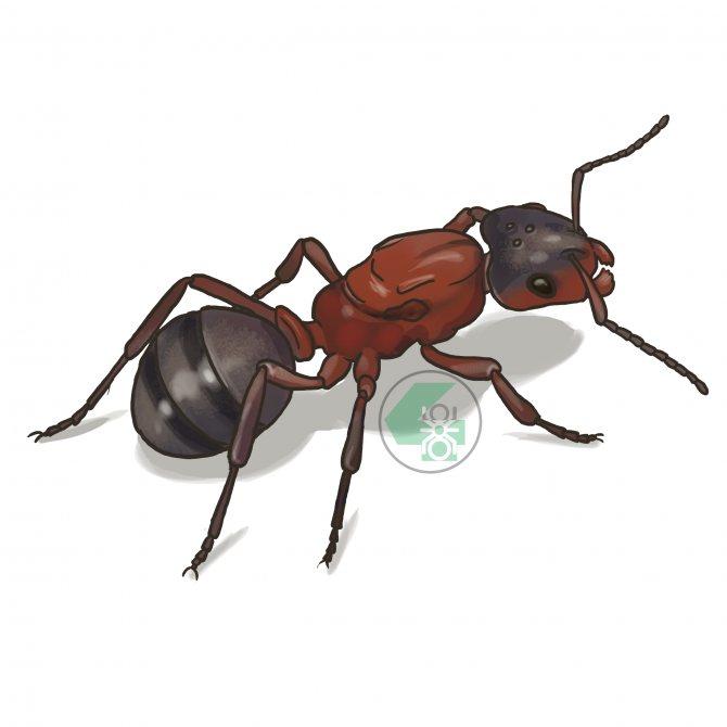 Raptiformica sanguinea (кроваво-красный муравей-рабовладелец)