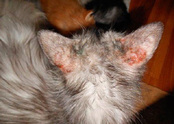 Расчесывание раздраженных участков коши в худшем случае приводит к заражению крови