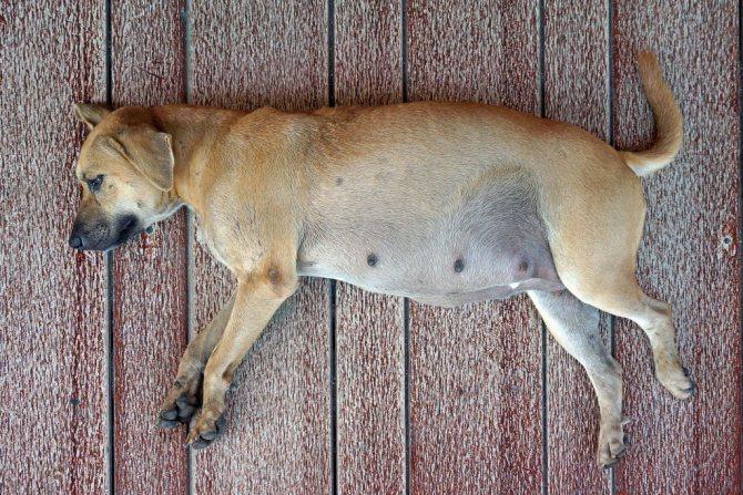 Расчет даты родов у собак