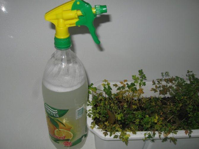 Растения обрабатываются специальным раствором