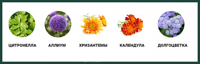 растения отпугивающие комаров