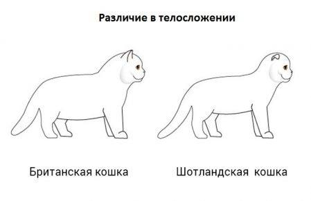 Различия в телосложении шотландских и британских кошек
