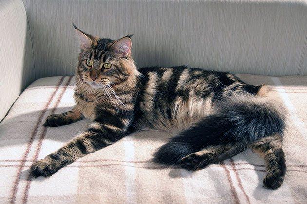 Размеры кошек породы Мейн-кун