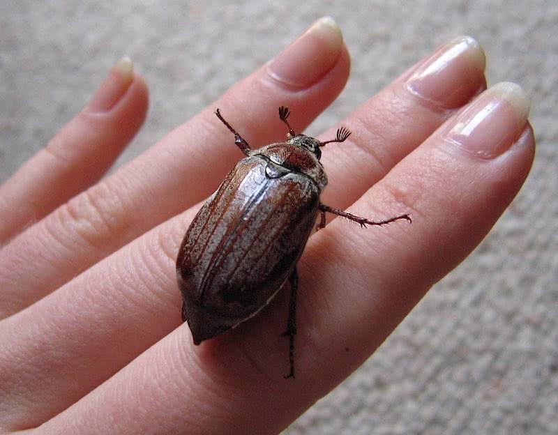 Размеры майского жука