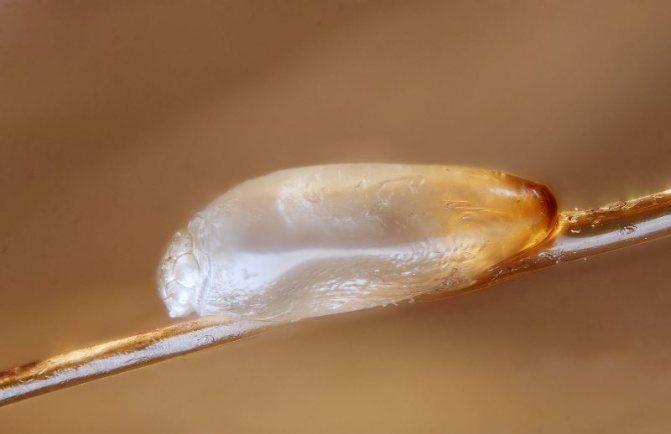 Размножение происходит путём откладывания яиц, которые называются гнидами