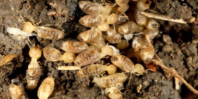 Размножение термитов