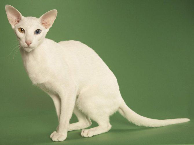 Разноглазая кошка: порода