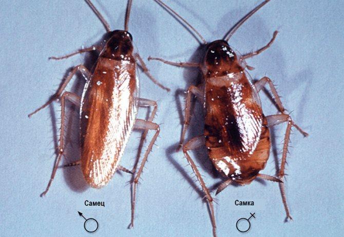 разнополые особи рыжего таракана