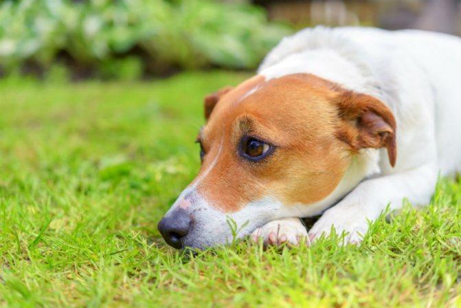 Разновидности чумки у собак