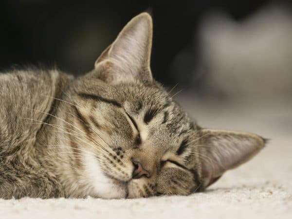 Разновидности кошачьих глистов