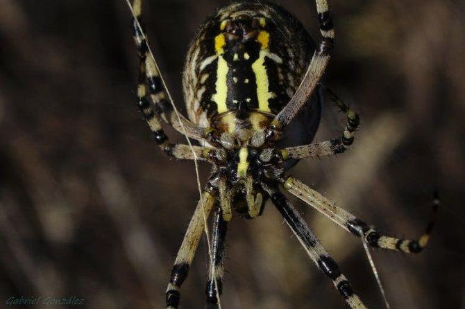 Разновидности пауков