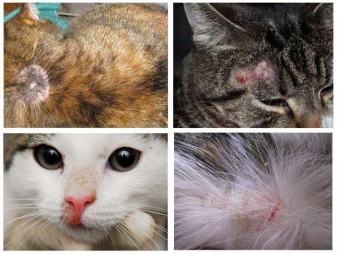 Разные виды лишая у кошек