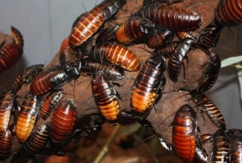 Разведение и содержание мраморных тараканов