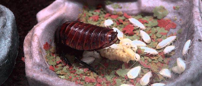 разведение мадагаскарских тараканов