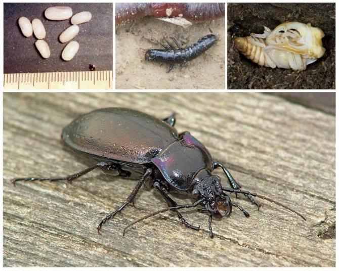 Развитие жука