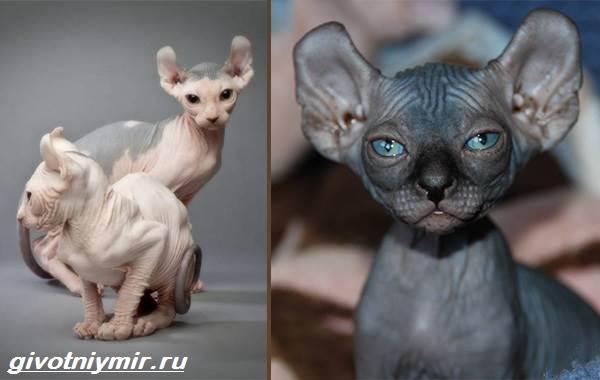 Редкие-кошки-Описание-и-особенности-редких-пород-кошек-11
