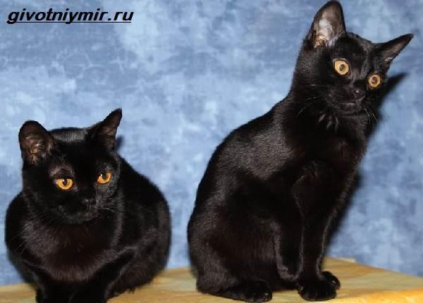 Редкие-кошки-Описание-и-особенности-редких-пород-кошек-3