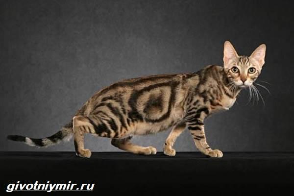 Редкие-кошки-Описание-и-особенности-редких-пород-кошек-4