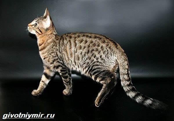 Редкие-кошки-Описание-и-особенности-редких-пород-кошек-5