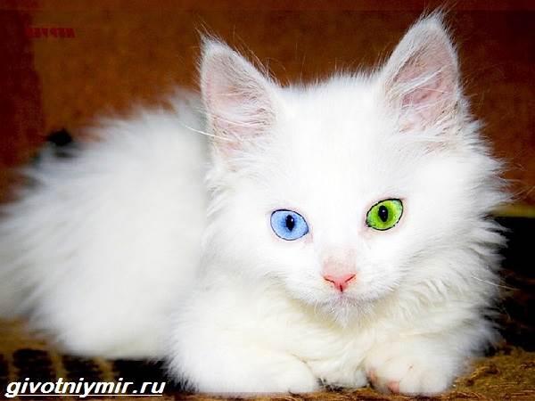 Редкие-кошки-Описание-и-особенности-редких-пород-кошек-6